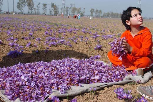 A child sorts Saffron flowers in the world famous Saffron fields at Pampore