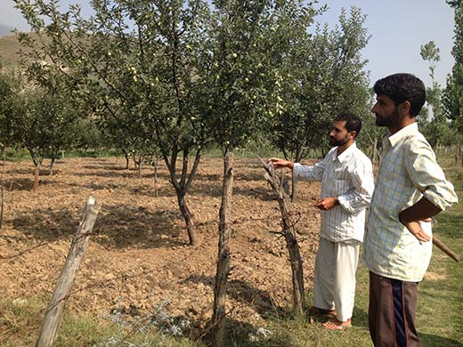 A man near his apple orchard in Lethpora village which was previously a saffron field.