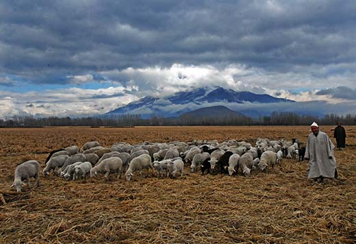 Sheep-stock