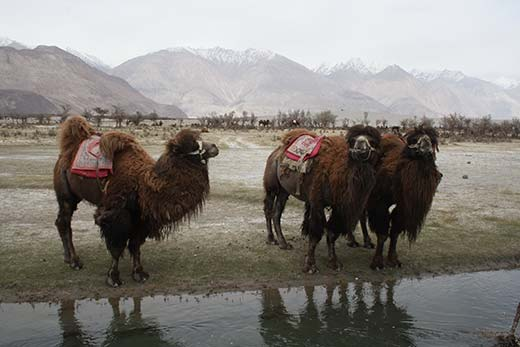 Yarkandi-Camel