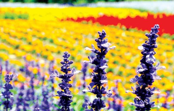 Lavendar-Flower